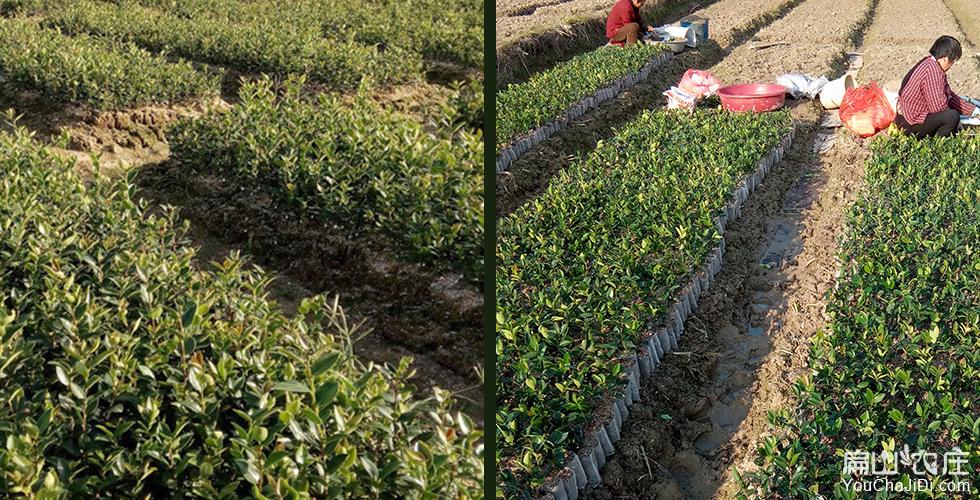 中国最有名的油茶苗种植乡