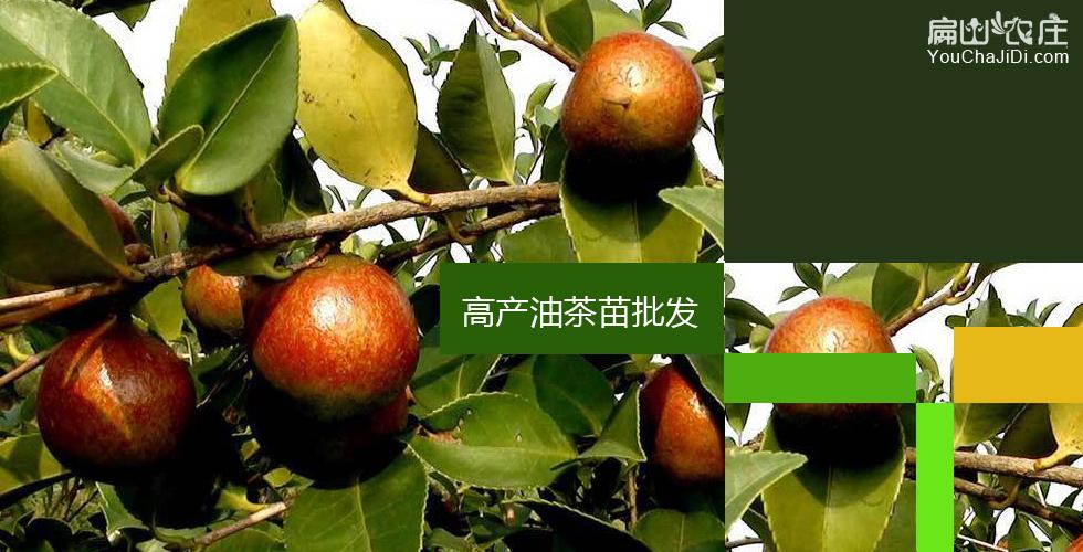 湘西高产油茶苗