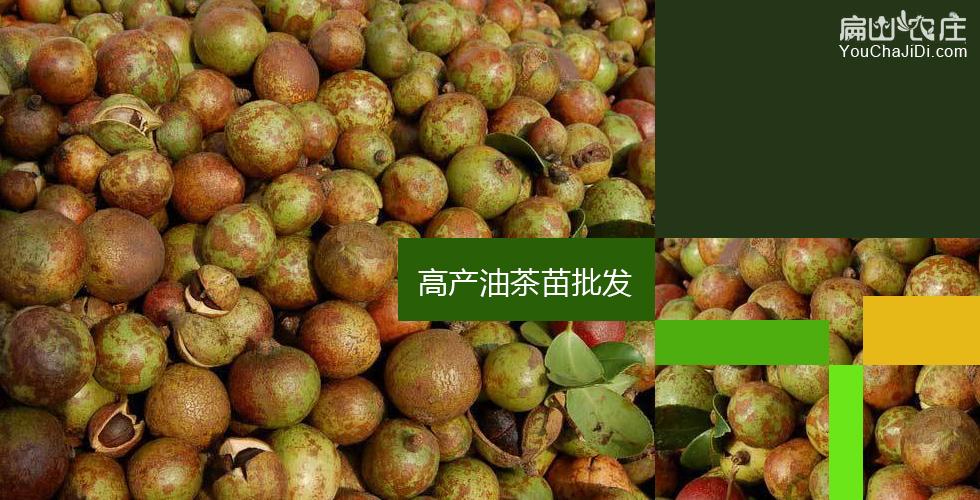 中国最大白花油茶基地