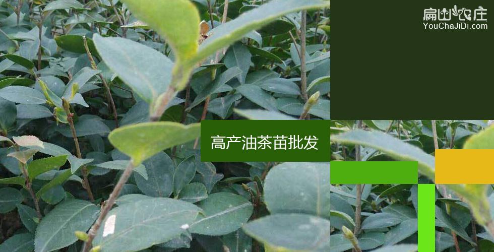 富阳红花油茶苗