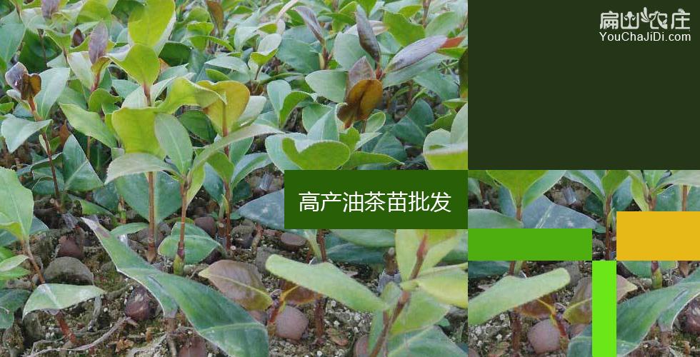金堂油茶种植基地