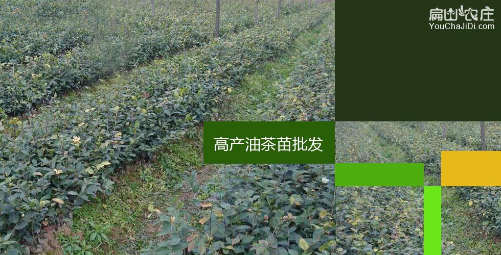 宁油茶种植