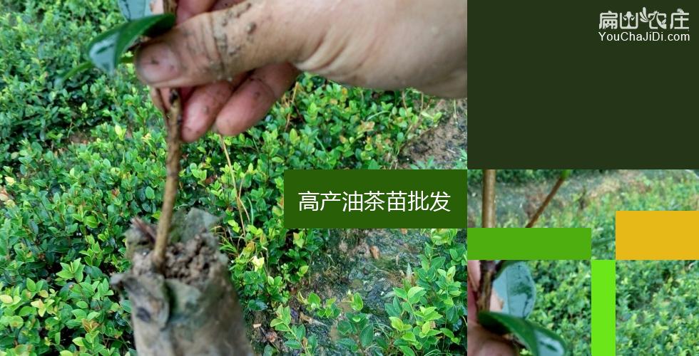 巨果红花油茶苗基地