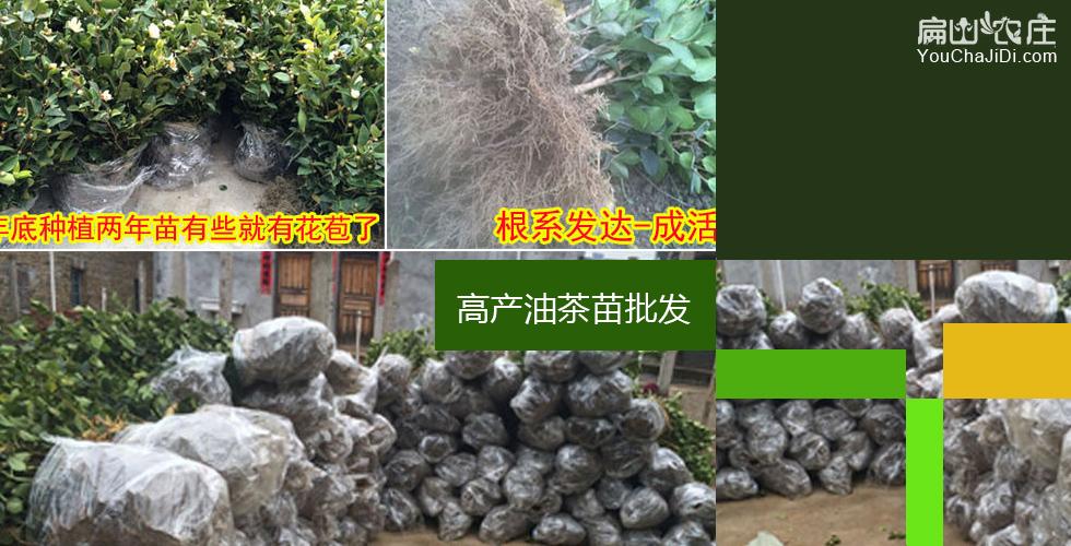 绵阳茶树种植