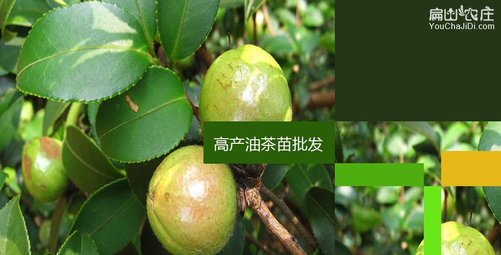 北川油茶苗之乡