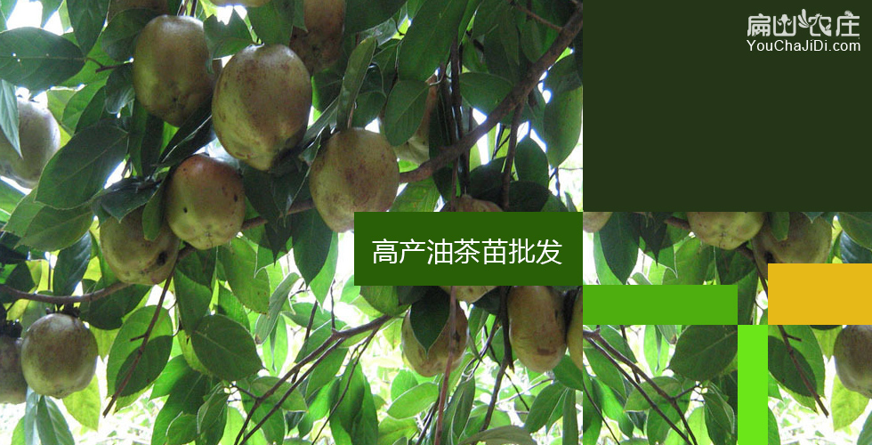 广西湖南中科院大果红花油茶苗