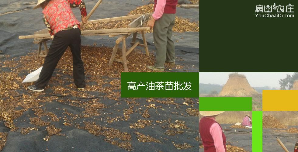 荣县油茶苗批发