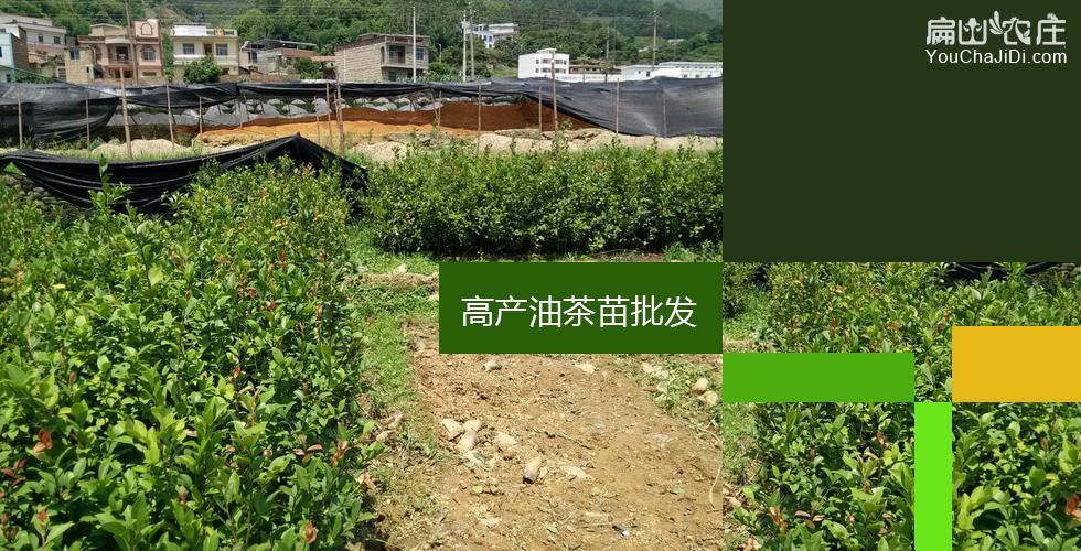 保靖油茶种植基地
