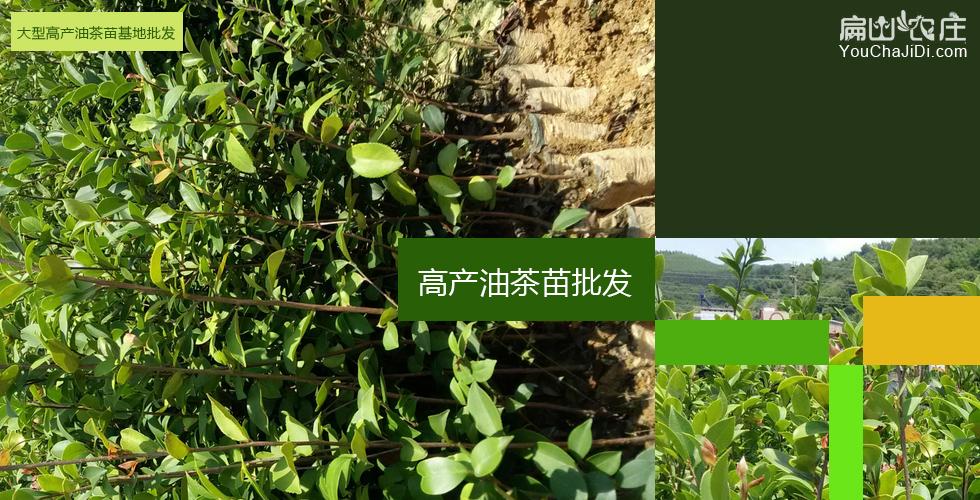 湘西最大的油茶基地