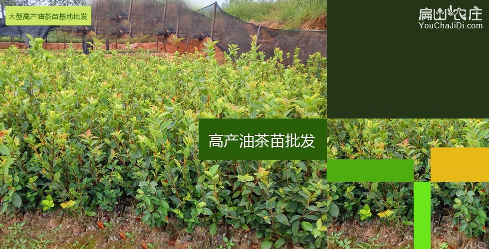 夹江油茶苗种植合作社