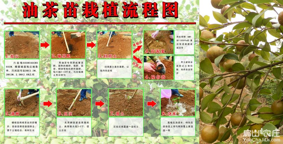 中国有名油茶品种
