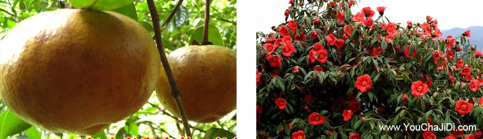 纯种红花大果茶油苗