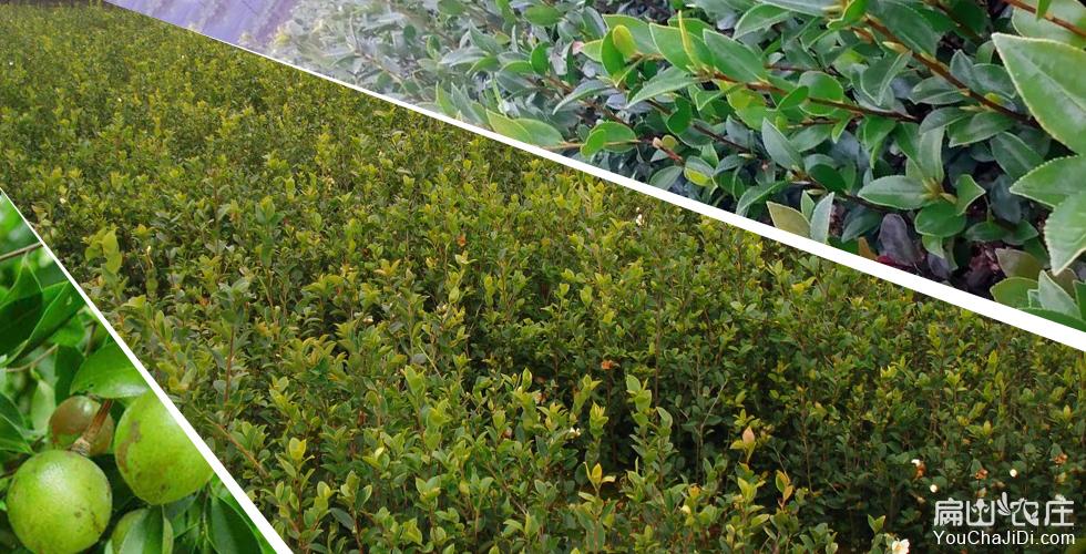 祁阳油茶种植