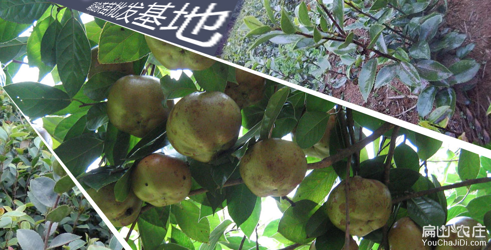 泸州高产油茶基地