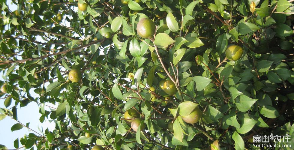 德格茶树种植