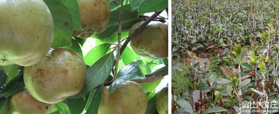 富阳茶树种植