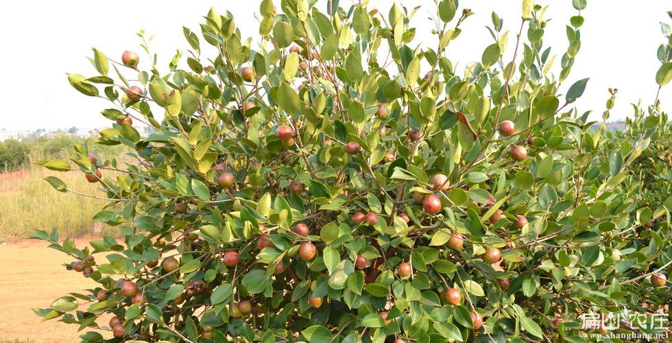 宁德油山茶籽树基地
