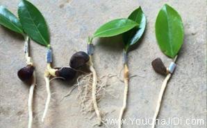 桂平最大的油茶种植基地