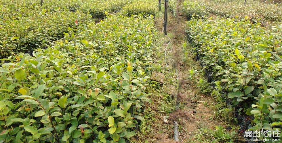 广元油茶种植基地