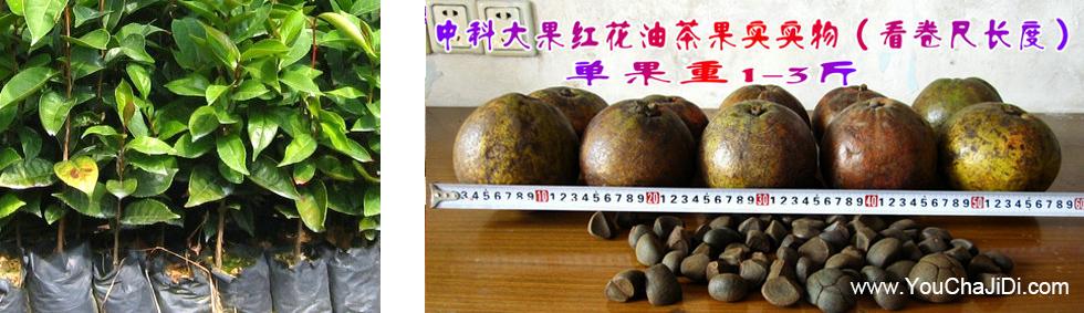 中科院红花茶油树