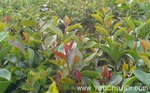 广西油茶苗基地❀高产油茶苗❀河池百色梧州钦州贵港油茶树苗